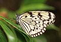 Tree Nymph Butterfly - Idea leuconoe - 大胡麻斑(オオゴマダラ) (8908739794).jpg