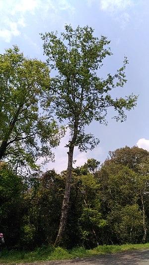 Alnus formosana - Image: Tree shape