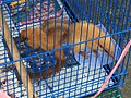 Tree shrews in Jatinegara Market.jpg
