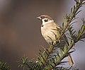 Tree sparrow (51002910162).jpg