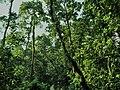Trees from singra forest.jpg
