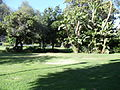 Trees in Holmby Park, Holmby Hills, Los Angeles, California..JPG