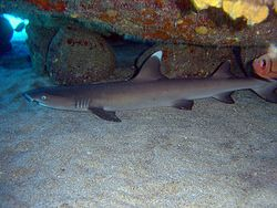 Triaenodon obesus whitetip reef shark.JPG