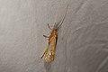 Trichoptera sp. (35671248224).jpg