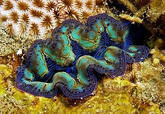 Tridacna - Image: Tridacna crocea recorte
