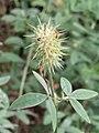 Trifolium pannonicum Koniczyna pannońska 2009-07-11 01.jpg