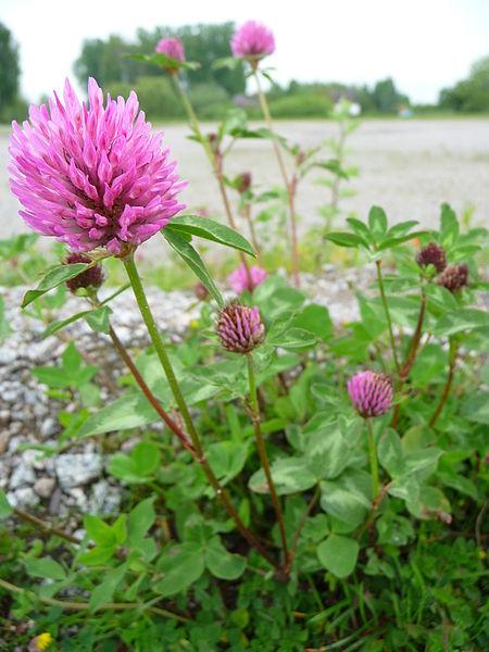 File:Trifolium pratense Heppenheim.JPG
