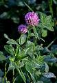 Trifolium pratense inflorescence (01).jpg
