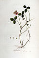 Trifolium repens — Flora Batava — Volume v5.jpg