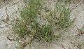 Triglochin maritimum plant (22).jpg