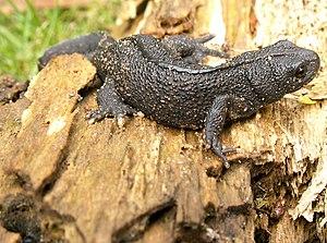 Example: Alpine crested newt (Triturus carnifex)