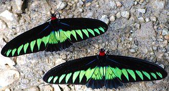 Trogonoptera brookiana - Two males at Kuala Woh