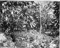 Tropenmuseum Royal Tropical Institute Objectnumber 60008975 Volwassen cacaoaanplant op een planta.jpg