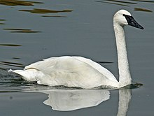 Trumpeter swan classification essay