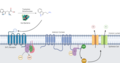 Tryptamine mechanism of action in the human gut.png