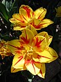 Tulip Monsella 2006.jpg