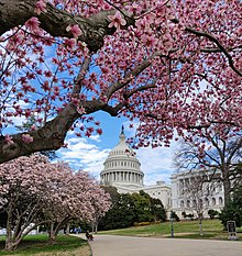 U.S. Capitol grounds magnolias in March 2020.jpg