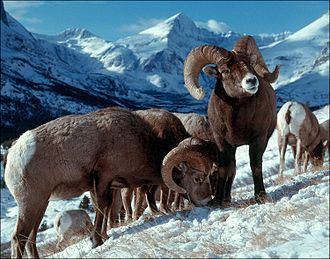 Altitudinal migration - Bighorn sheep migrate between high mountains, where they are safer from predators, and valleys where there is more food in winter.