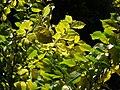 Ulmus 'Louis van Houtte' in the botanic garden in Christchurch, New Zealand (2).jpeg