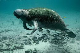 Underwater photography of mammal manatee.jpg