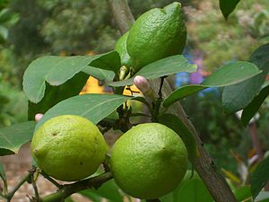 English: Fruit on a lemon tree in Stratford, V...
