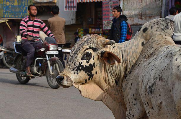 Vache, Jaisalmer.jpg