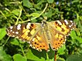 Vanessa cardui (Painted lady), Elst (Gld), the Netherlands.jpg