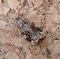Variegated Golden Tortrix. Archips xylosteana - Flickr - gailhampshire.jpg
