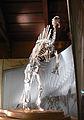Venezia - Museo di storia naturale - Ouranosaurus nigeriensis.JPG