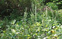 Veratrum album subsp. oxysepalum s2.JPG
