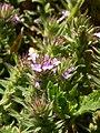 Verbena bracteata (5241564143).jpg