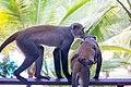 Vervet Monkeys (45313629215).jpg