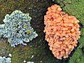 Very young Flammulina velutipes (Winter mushroom, Golden needle mushroom, Velvet stem, Enoki, D= Gemeiner Samtfußrübling, F= Collybie à pied velouté, NL= Gewoon fluweelpootje) white spores and causes whitte rot, at - panoramio.jpg
