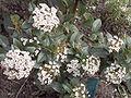Viburnum.tinus.jpg