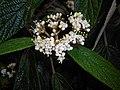 Viburnum rhytidophyllum 2016-05-17 0798.jpg