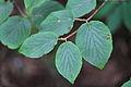 Viburnum sympodiale in Mount Sanqing 20120708-05.jpg