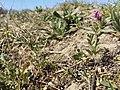 Vicia angustifolia subsp. segetalis sl31.jpg