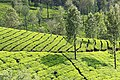 Beautiful view of Munnar tea plantation
