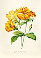 Vintage Flower illustration by Pierre-Joseph Redouté, digitally enhanced by rawpixel 64.jpg