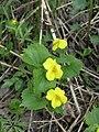 Viola uniflora 121572121.jpg