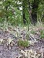 Viscaria vulgaris sl17.jpg