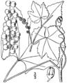 Vitis aestivalis var bicolor drawing.png