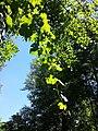 Vitis vinifera subsp. sylvestris sl9.jpg