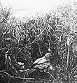 Vogels , grauwe kuikendief, Bestanddeelnr 193-0878.jpg