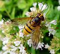Volucella inanis - Flickr - gailhampshire (8).jpg