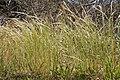 Vulpia myuros plant3 (7429500698).jpg