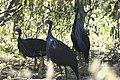 Vulturine Guineafowl 2015.jpg