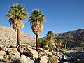 Washingtonia filifera -- Mary's Grove -- Florian Boyd 001.jpg
