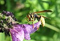 Wasp and meal.jpg