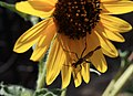 Wasp on sunflower (7804224120).jpg
